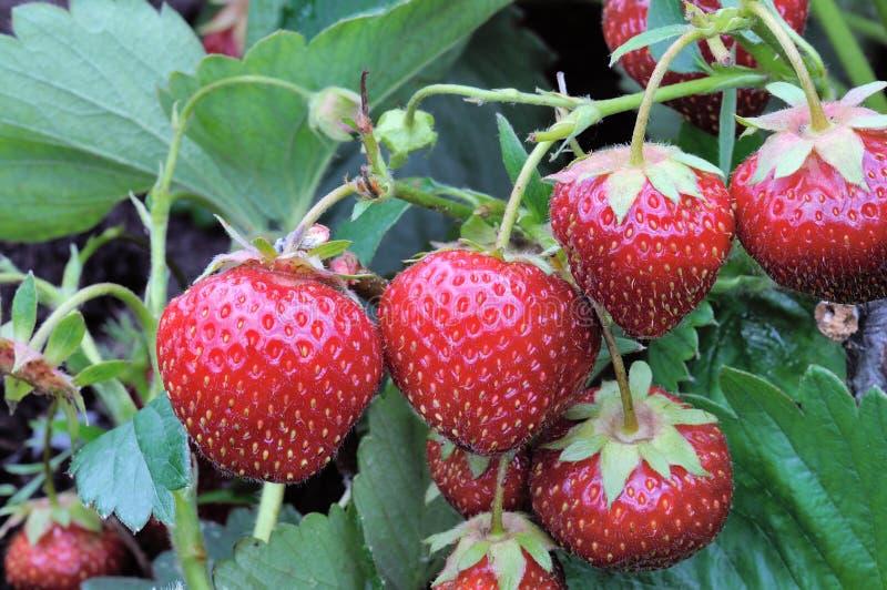 灌木草莓 免版税库存图片