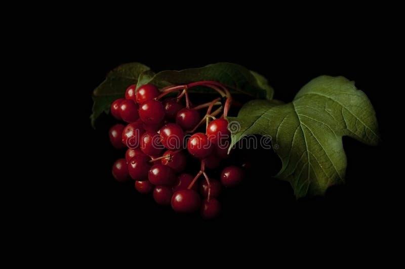 灌木蔓越桔符号乌克兰 库存图片