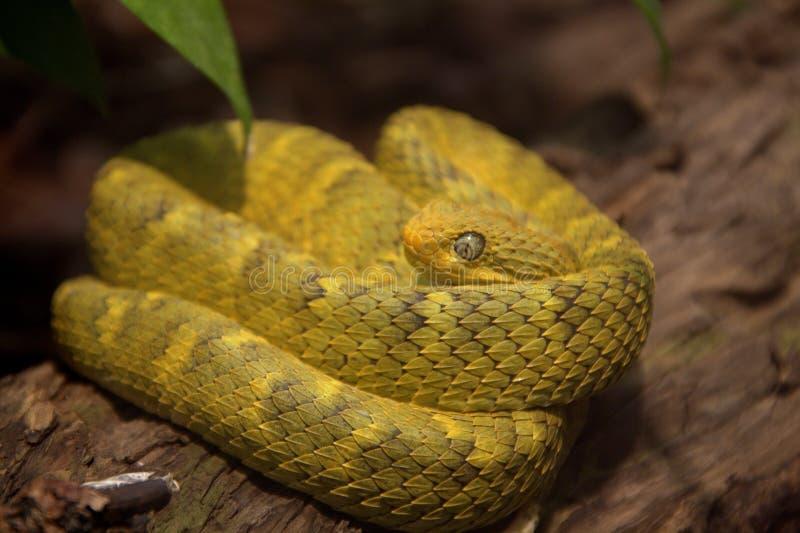 灌木蛇变量蛇蝎 图库摄影
