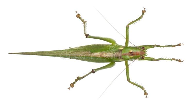 灌木蟋蟀极大的绿色tettigonia viridissima 图库摄影