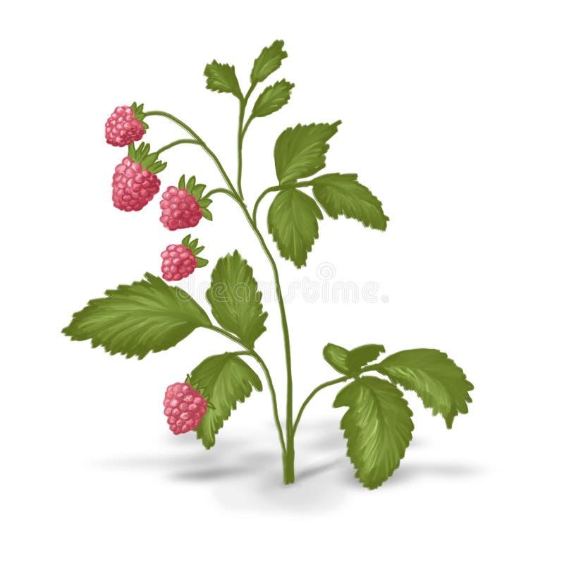 灌木被绘的莓 库存例证