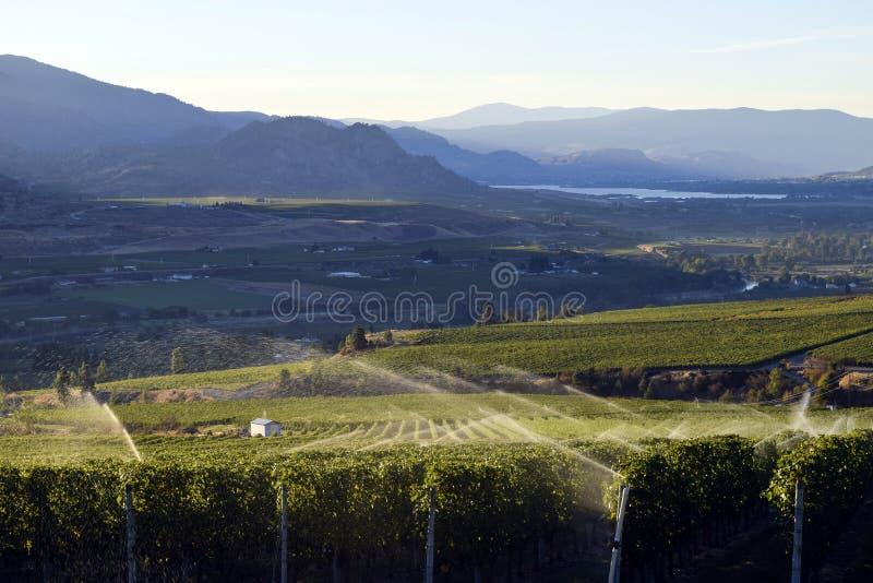 灌溉喷水隆头葡萄园酿酒厂Okanagan谷 免版税图库摄影
