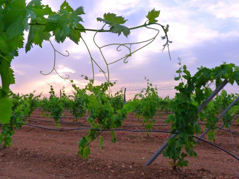灌溉葡萄园在格子的有云彩日落背景1 免版税库存图片