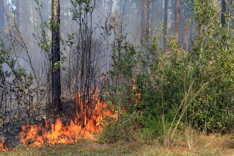 火在杉木森林里 库存照片