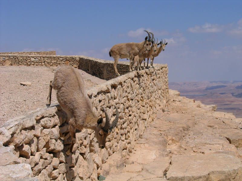 火山口deers以色列makhtesh ramon 库存照片