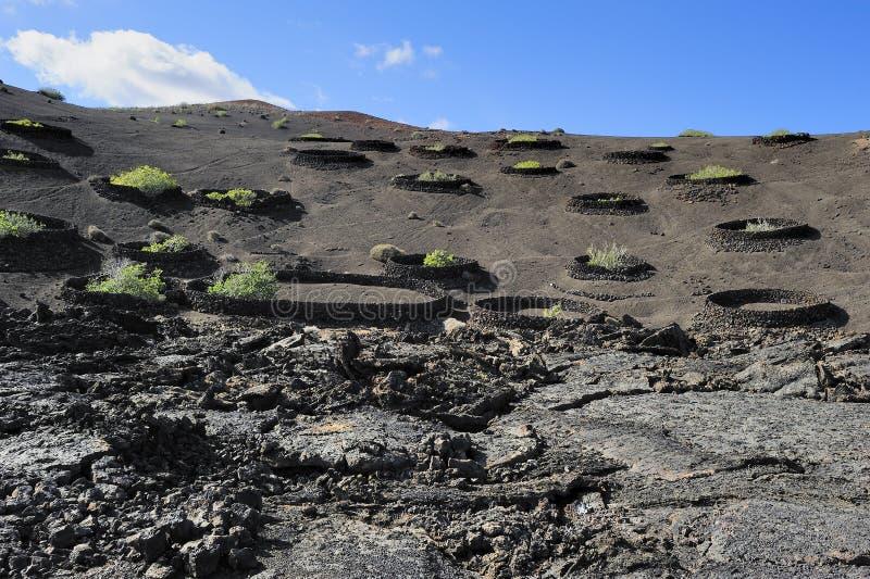 火山的小山的植物在Timanfaya国家公园,兰萨罗特岛是 免版税库存图片