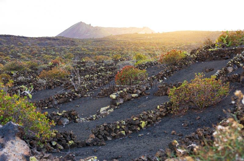火山的土地的葡萄园在兰萨罗特岛 免版税库存图片
