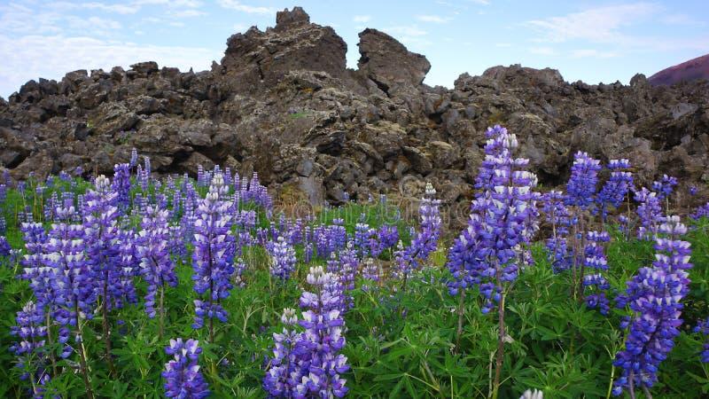 火山的花 免版税库存图片