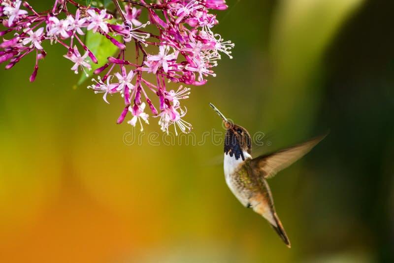 火山蜂鸟,盘旋在桃红色花旁边在庭院里,从山热带森林, Savegre,哥斯达黎加的鸟 免版税库存图片