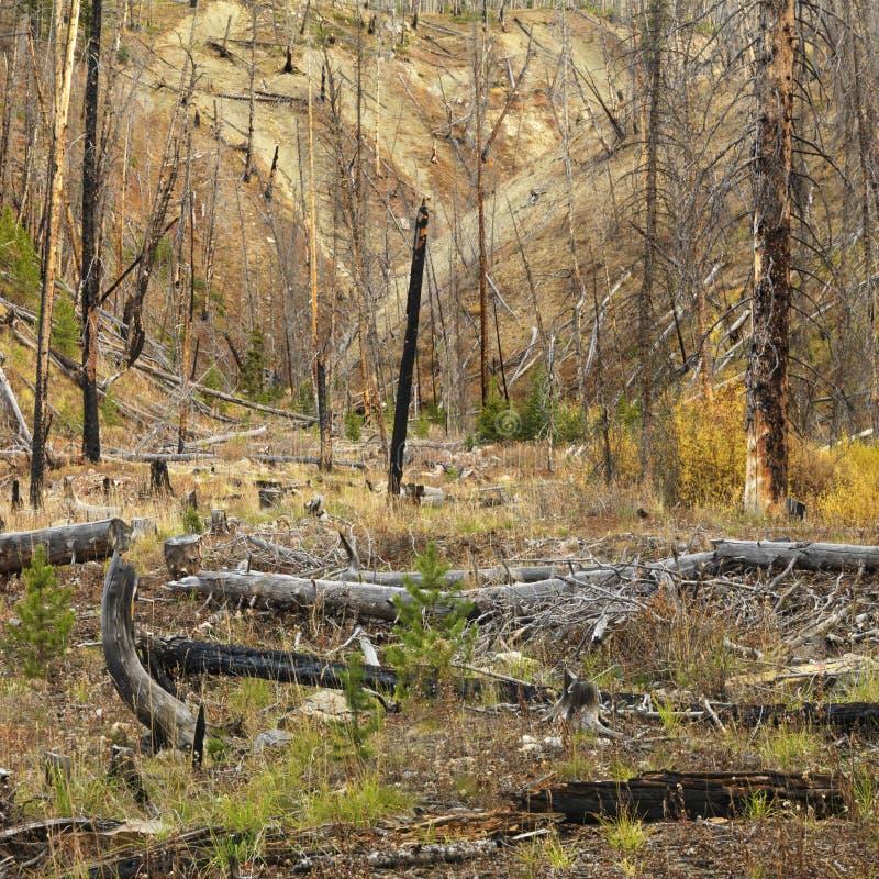 火新森林的增长 免版税图库摄影