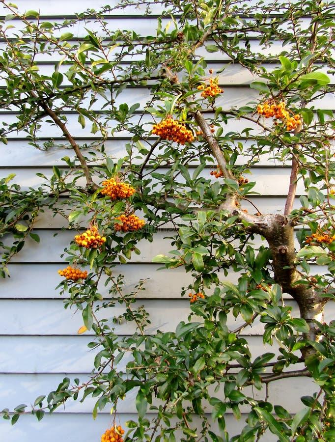 火棘angustifolia或narrowleaf firethorn灌木用橙色莓果对蓝色墙壁 库存照片