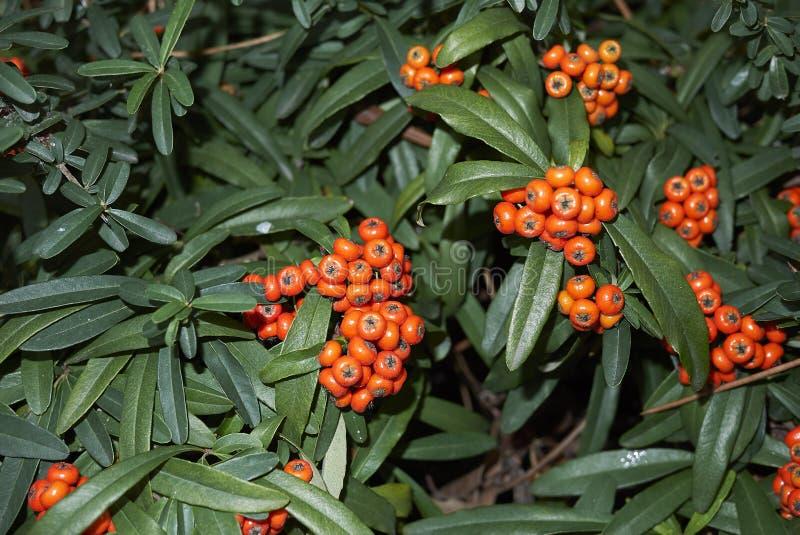 火棘angustifolia橙色莓果  免版税库存图片