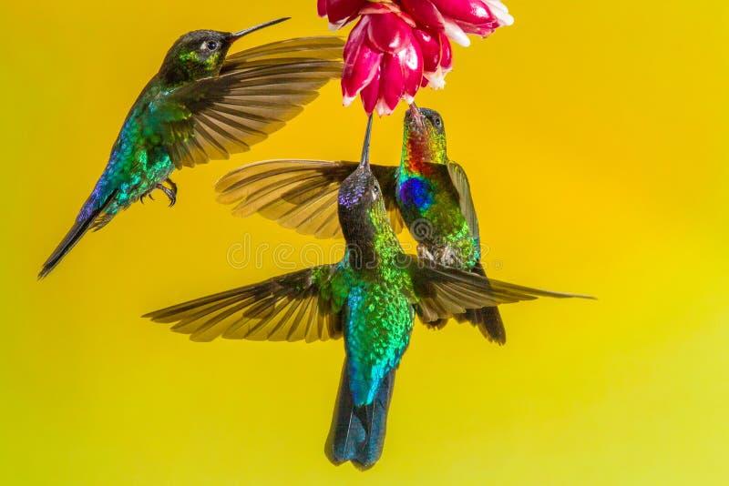 火热的红喉刺莺的蜂鸟 图库摄影