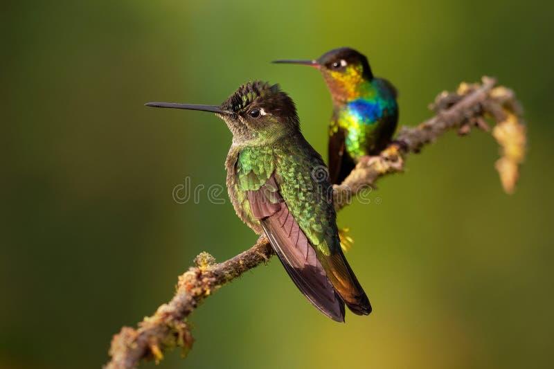 火热红喉刺莺的蜂鸟- Panterpe insignis中型蜂鸟仅品种在哥斯达黎加和巴拿马的山 免版税库存照片