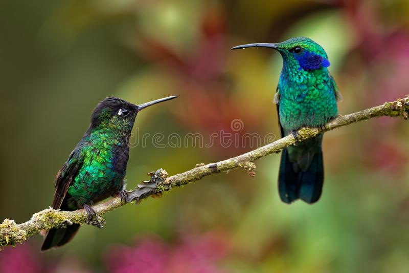 火热红喉刺莺的蜂鸟- Panterpe insignis和绿色紫罗兰色耳朵- Colibri thalassinus 免版税图库摄影