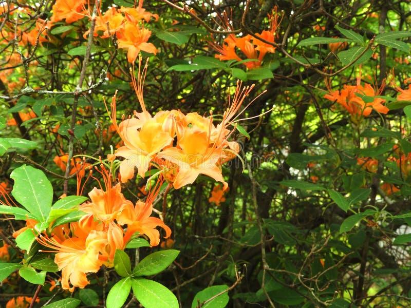 火焰杜娟花当地灌木在马萨诸塞 免版税库存照片