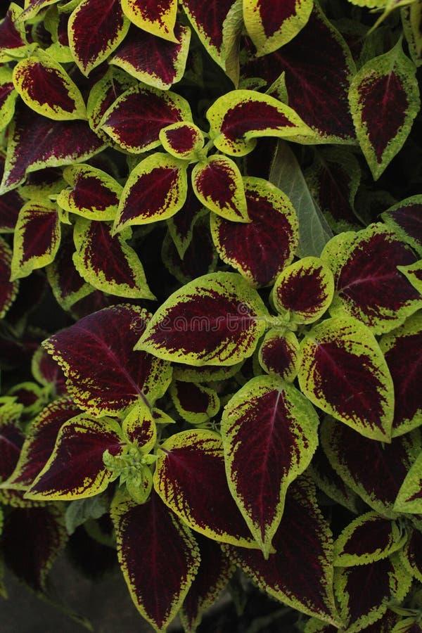 火焰荨麻多汁香草scutellarioides美丽的叶子  库存图片