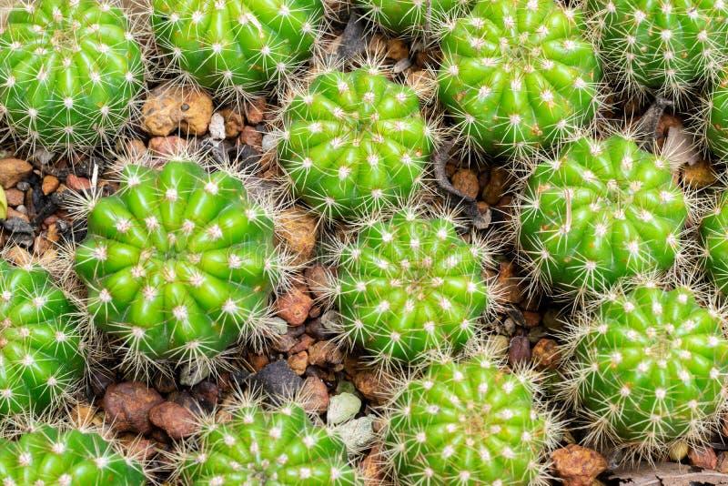 火电厂仙人掌植物小组成长在沙漠, Echinopsis calochlora仙人掌科 库存照片