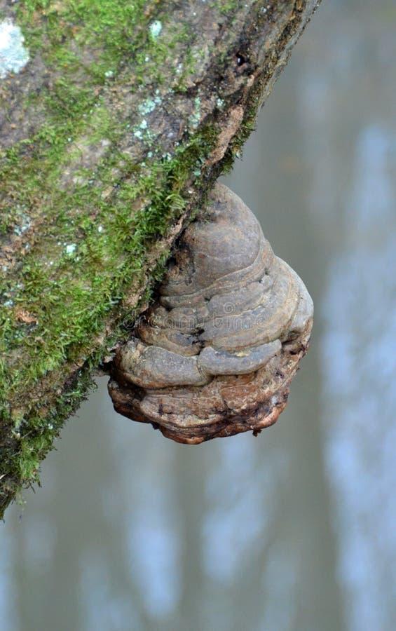火种在树干的polypore蘑菇 库存照片