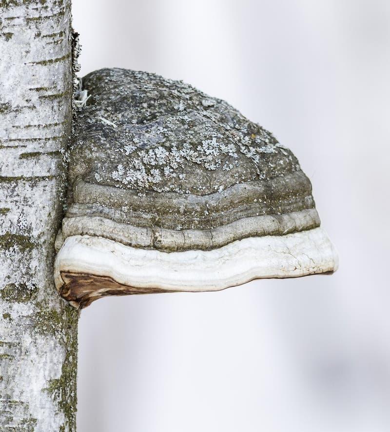 火种真菌和桦树 图库摄影