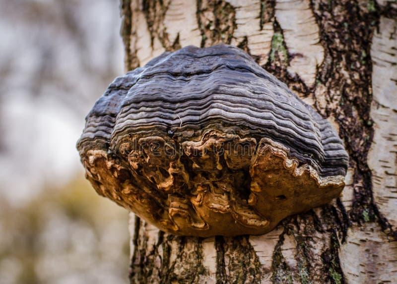火种真菌 免版税库存图片