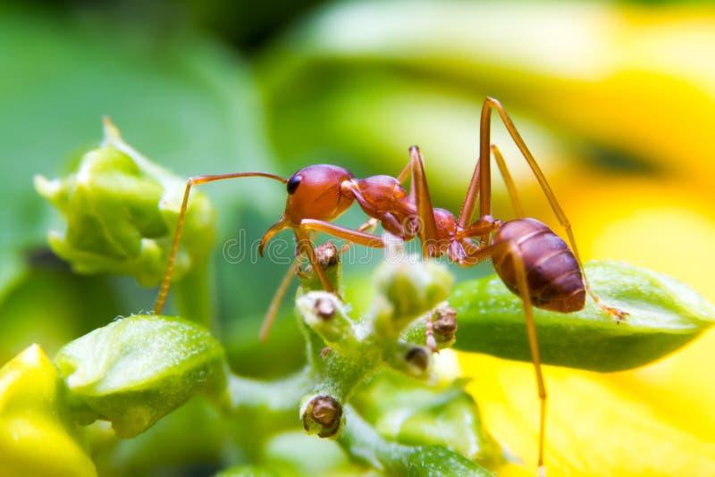 火蚂蚁工作者 图库摄影