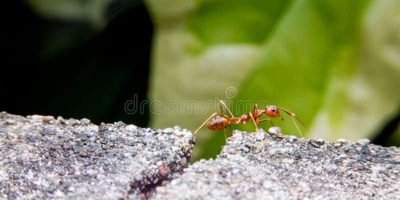 火蚂蚁去回家 关闭 免版税库存照片