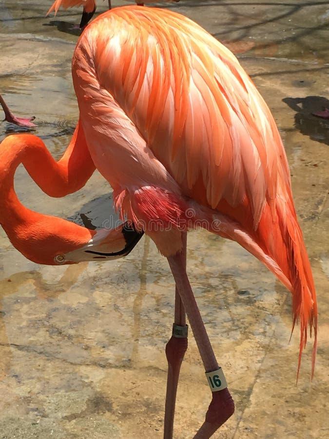 火鸟在巴哈马 图库摄影