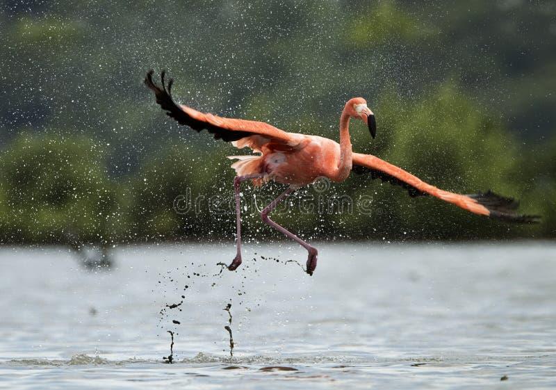 火鸟在水运行与飞溅 库存图片