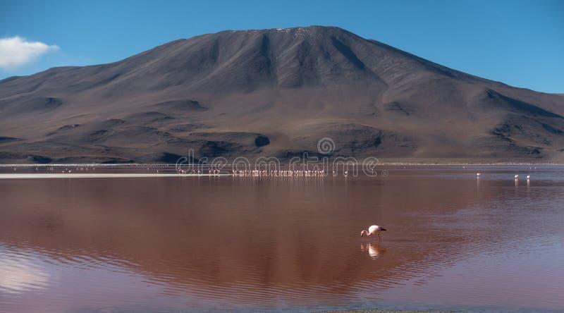 火鸟在科罗拉达湖,乌尤尼盐沼,玻利维亚 库存图片