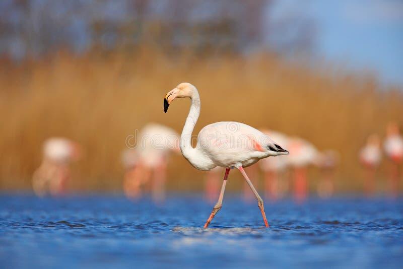 火鸟在自然栖所 美丽的水禽 桃红色大鸟更加伟大的火鸟, Phoenicopterus ruber,在水中, Camargue, Fr 库存照片