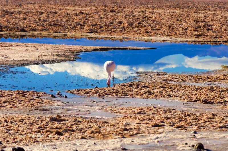 火鸟在Chaxa盐水湖 免版税库存照片