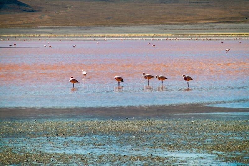 火鸟在Laguna Colorada湖 免版税库存图片