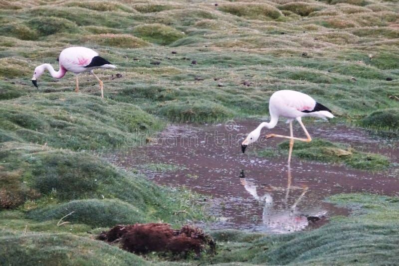 火鸟季节在乌尤尼盐沼,玻利维亚 库存照片