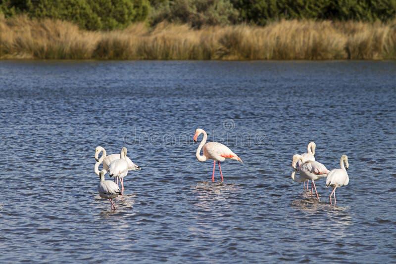 火鸟家庭与成年男性在中心和六只小狗的在布多尼海的岸的附近池塘 库存照片