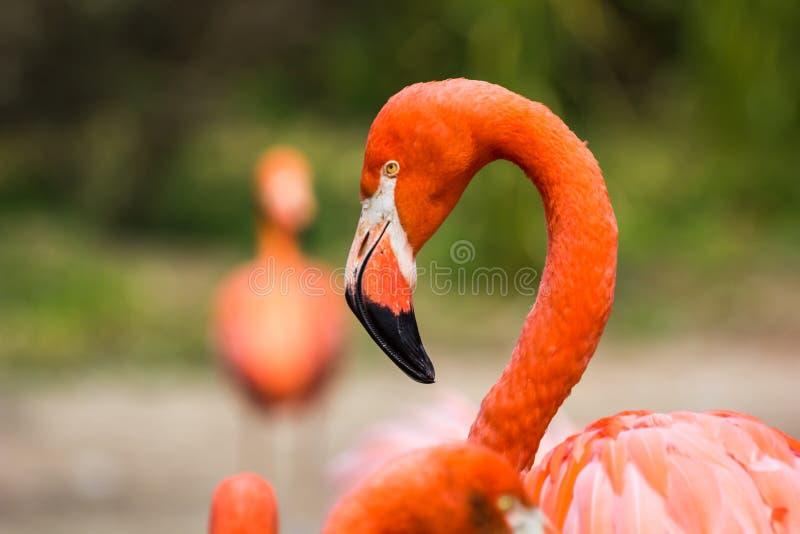 火鸟或火鸟是涉水鸟的类型在家庭Phoenicopteridae的 图库摄影
