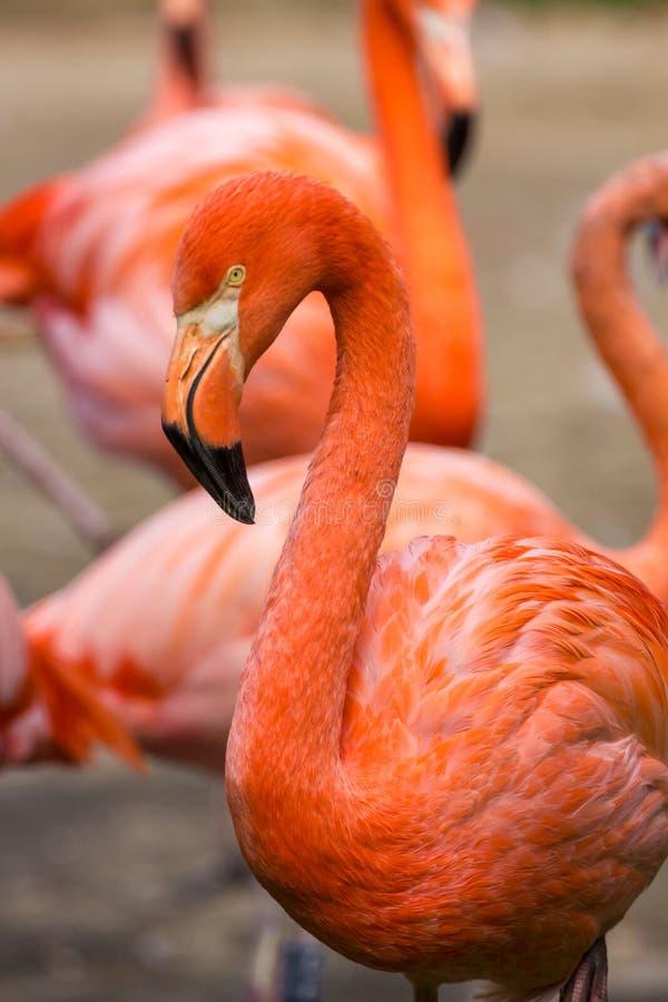 火鸟或火鸟是涉水鸟的类型在家庭Phoenicopteridae的 免版税图库摄影