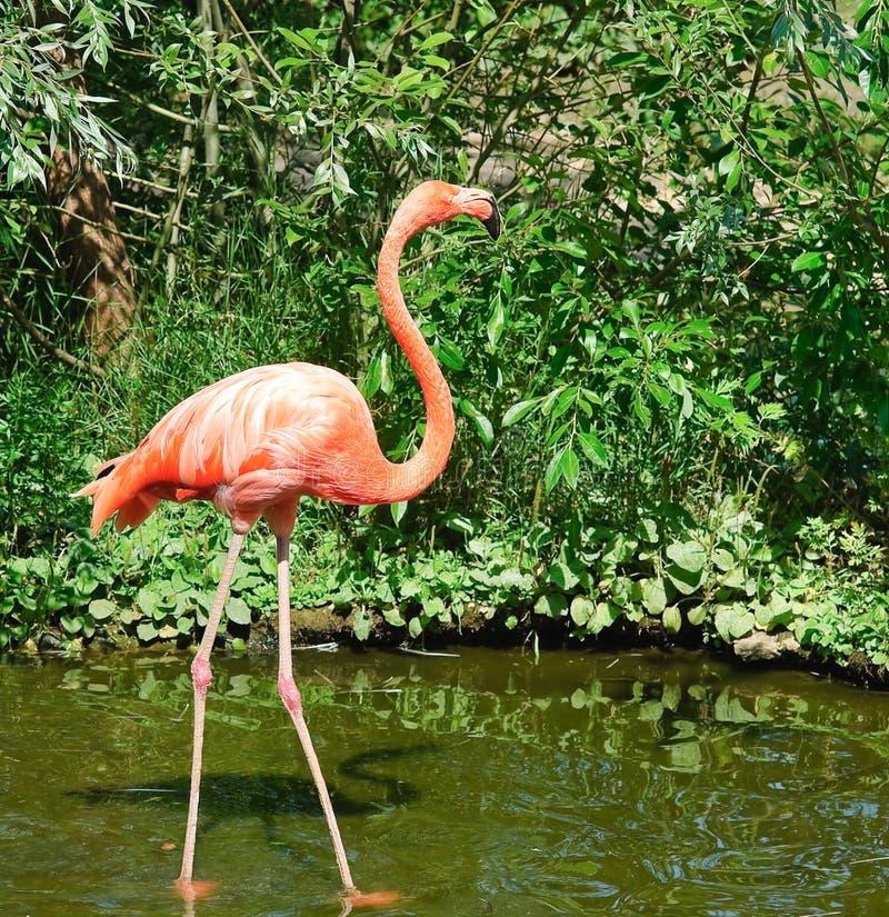 火鸟桃红色动物园 免版税库存照片