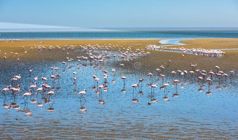 火鸟群在鲸湾港,纳米比亚的 库存照片