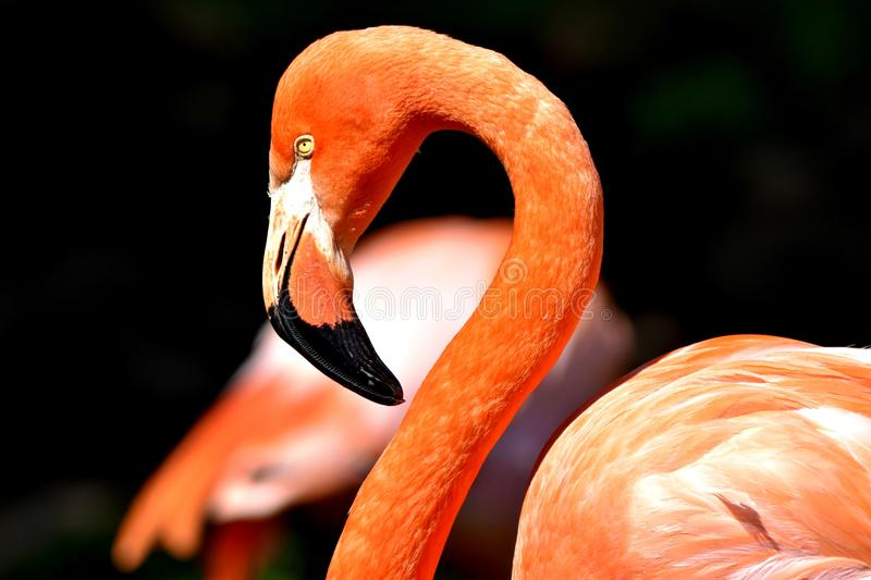 火鸟,俄克拉何马市动物园 免版税图库摄影