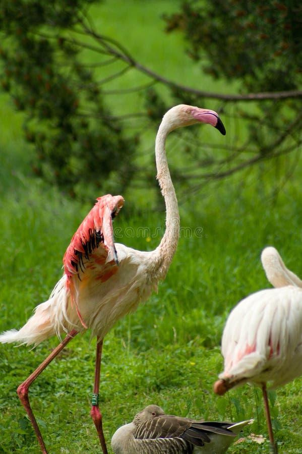 火鸟更加极大的phoenicopterus roseus 免版税库存图片