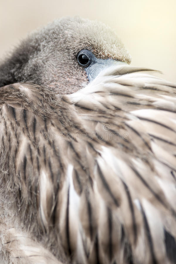 年轻火鸟画象 库存照片