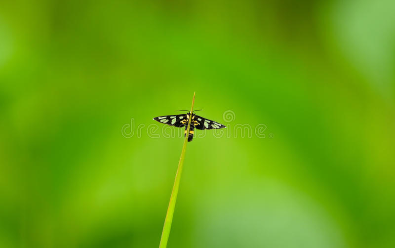 灯蛾艾买提sp 栖于在一把草刀片在Khao亚伊国家公园,泰国 免版税库存照片