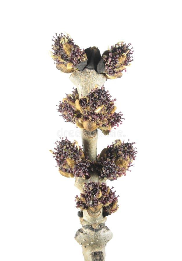 灰与在白色和花的岑属细刨花春天分支隔绝的芽 库存图片