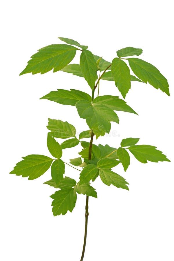 灰有叶的槭树树苗 免版税库存照片