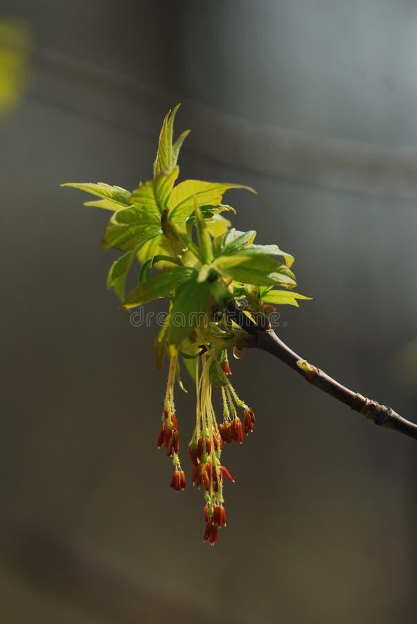 灰有叶的槭树 免版税库存照片