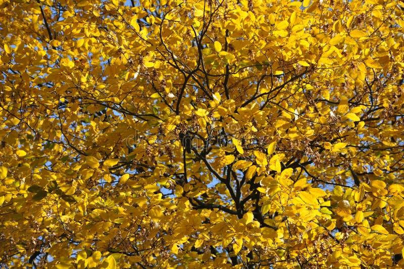 灰树的黄色叶子在阳光下在秋天 库存照片