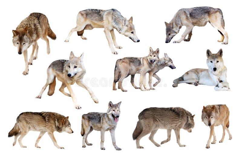 灰狼。 查出在白色 图库摄影