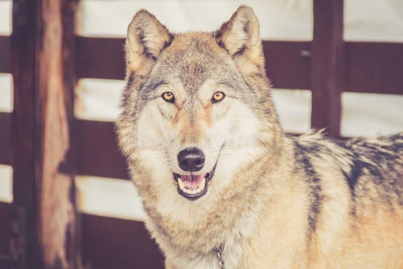灰狼在土气葡萄酒谷仓 库存图片
