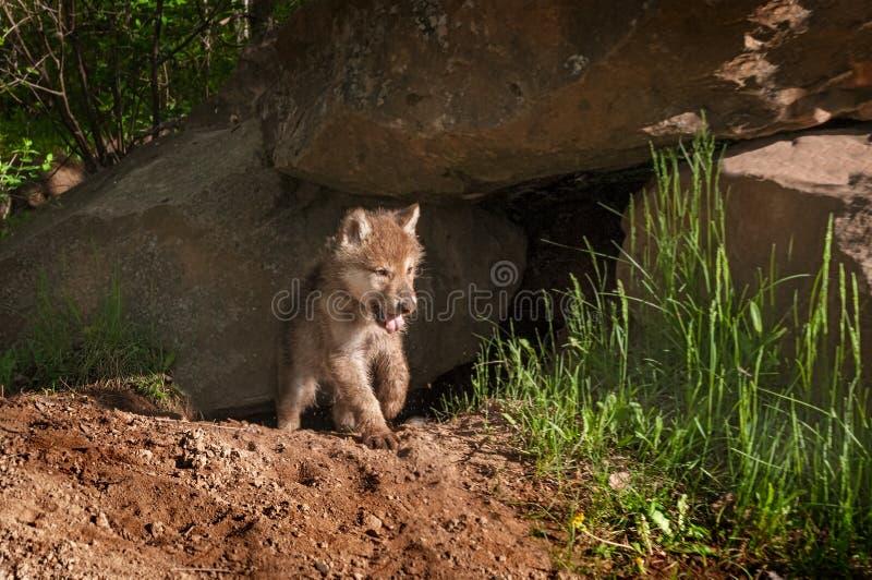 灰狼(天狼犬座)小狗从打呵欠的小室涌现 免版税库存照片